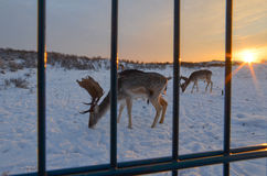 Cerfs communs dans la neige sur les dunes Photographie stock libre de droits