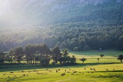 """Cerfs communs dans la réservation biologique Monts d """"Azur dans Thorenc, France photos stock"""