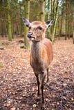 Cerfs communs dans la vie sauvage de forêt Photographie stock libre de droits