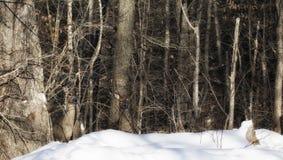 Cerfs communs dans le camouflage Photos stock
