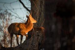 Cerfs communs dans le coucher du soleil photographie stock libre de droits