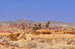 Cerfs communs dans le désert du Nevada Photos stock