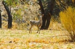 Cerfs communs dans le domaine photographie stock