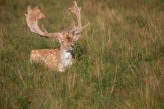 Cerfs communs dans le domaine Photographie stock libre de droits