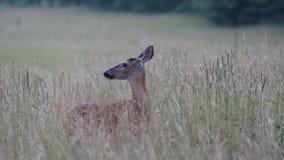 Cerfs communs dans le domaine Photo stock
