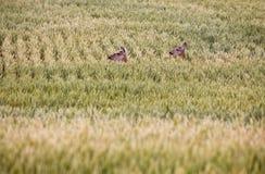 Cerfs communs dans le domaine d'agriculteurs Photo stock