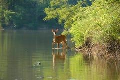 Cerfs communs dans le lac Photographie stock