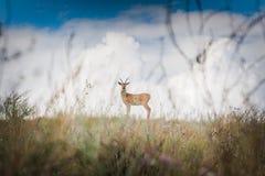 Cerfs communs dans le pré Photographie stock
