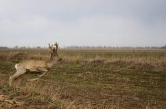 Cerfs communs dans le printemps Le cerf commun saute Photographie stock libre de droits