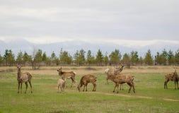 Cerfs communs dans le printemps Troupeau de cerfs communs de Sika Photographie stock libre de droits