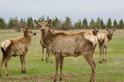 Cerfs communs dans le printemps Troupeau de cerfs communs de Sika images stock