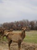 Cerfs communs dans le printemps Troupeau de cerfs communs de Sika Image libre de droits