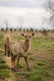 Cerfs communs dans le printemps Troupeau de cerfs communs de Sika Image stock