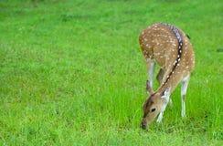 Cerfs communs dans le sauvage Image libre de droits
