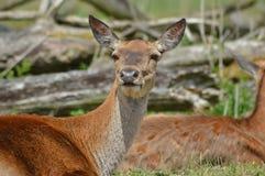 Cerfs communs dans le sauvage images stock