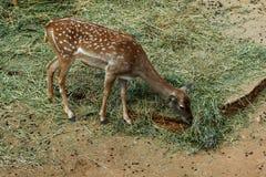 Cerfs communs dans le zoo images libres de droits
