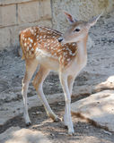 Cerfs communs dans le zoo image libre de droits