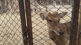 Cerfs communs dans le zoo Images stock