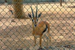 Cerfs communs dans le zoo photographie stock libre de droits