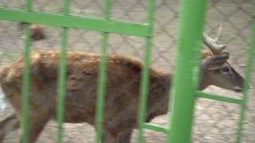 Cerfs communs dans le zoo banque de vidéos