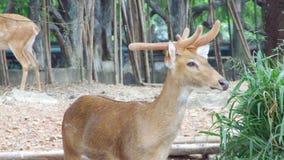 Cerfs communs dans le zoo photos stock