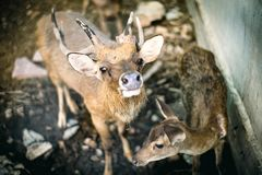 Cerfs communs dans le zoo, maigre, pas assez de nourriture photos libres de droits