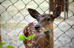 Cerfs communs dans le zoo Photo par les barres Photo libre de droits