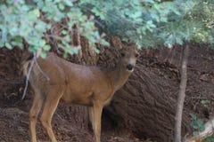 Cerfs communs dans les arbres à un terrain de camping images stock