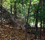 Cerfs communs dans les bois Photo libre de droits
