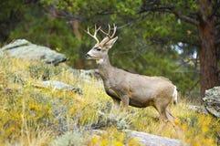 Cerfs communs dans les bois photographie stock libre de droits