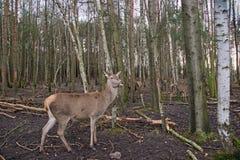 Cerfs communs dans les bois image libre de droits