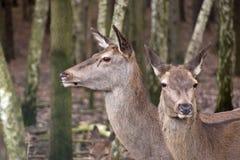 Cerfs communs dans les bois photos stock