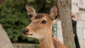 Cerfs communs dans les bois clips vidéos