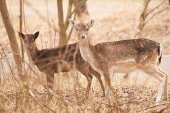 Cerfs communs dans les phares Photos libres de droits