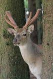 Cerfs communs dans un bois Images stock