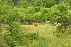 Cerfs communs dans un pré images stock