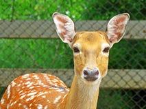 Cerfs communs dans un zoo en Thaïlande Images libres de droits