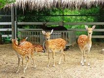 Cerfs communs dans un zoo en Thaïlande Photo libre de droits