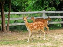 Cerfs communs dans un zoo en Thaïlande Photographie stock libre de droits