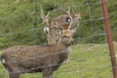 Cerfs communs dans une clôture Photographie stock libre de droits