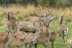 Cerfs communs dans une clôture Photo stock