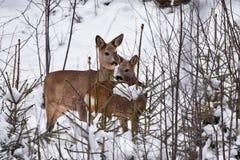 Cerfs communs dans une jeune forêt Images stock