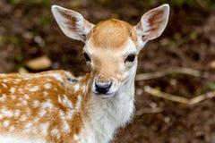 Cerfs communs de bébé Photo stock