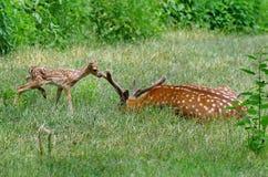Cerfs communs de bébé Images stock