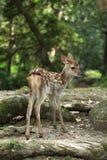 Cerfs communs de bébé Photo libre de droits