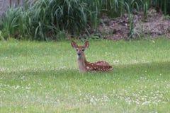 Cerfs communs de bébé en été, Bambi Photographie stock libre de droits