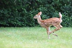 Cerfs communs de bébé en été, Bambi Photographie stock