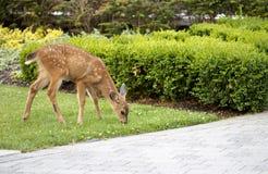 Cerfs communs de bébé - faon dans l'arrière-cour mâchant sur l'herbe Photo stock