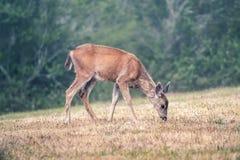Cerfs communs de bébé marchant sur l'herbe par la forêt Image stock