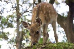 Cerfs communs de bébé - Nara, Japon Photos libres de droits